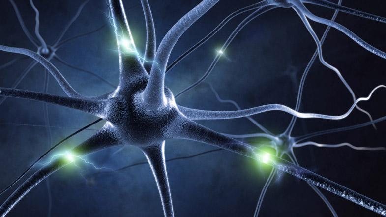 Sistema nervioso somático: qué es y función - Sistema nervioso somático y autónomo: diferencias