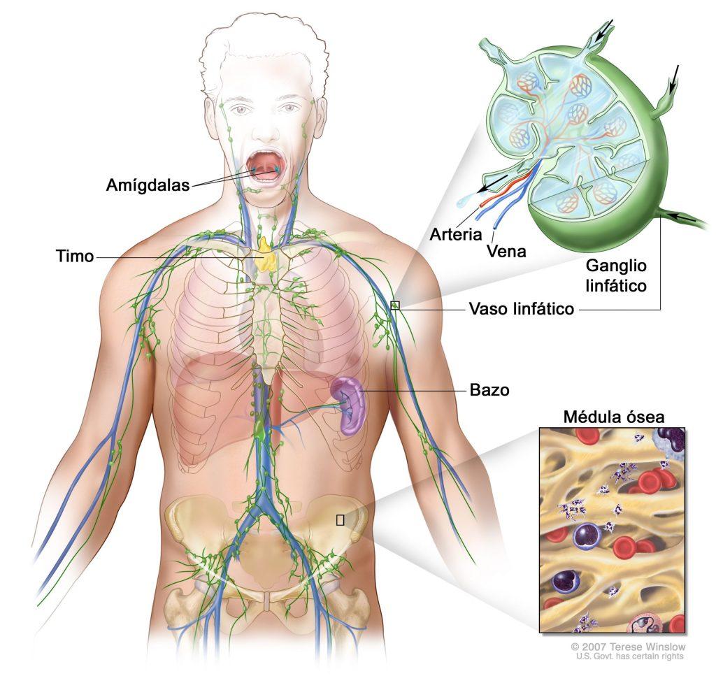 Definición de ganglio linfático - Diccionario de cáncer del NCI - Instituto  Nacional del Cáncer