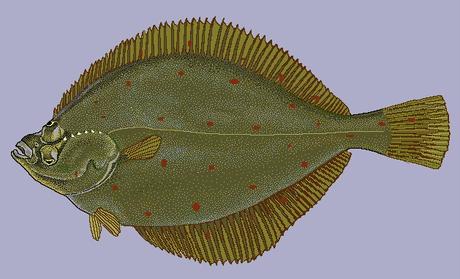 Pleuronectes platessa1.png