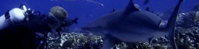Top World Shark Dives - Wikitravel