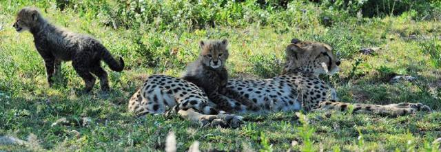 Cheetah & Cubs, Kenya