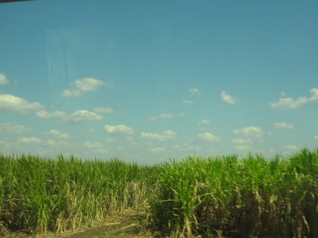 Cuban Sugar Cane