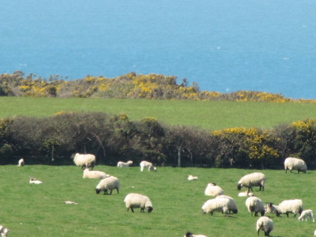 Wales Easter Sheep