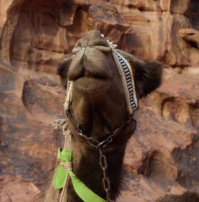 Wadi Rum Camel, Morocco