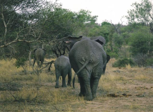 Elefanti - Forward March!!