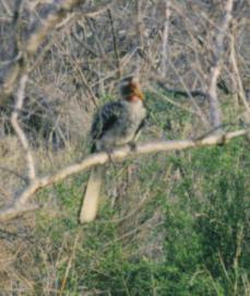 Yellow-billed Hornbill (2)
