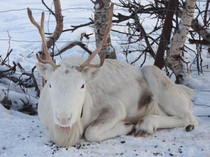 Sami Reindeer, Tromso, Norway