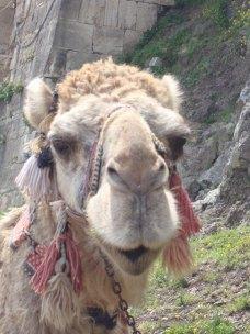 Camel Krak des Chevaliers 2