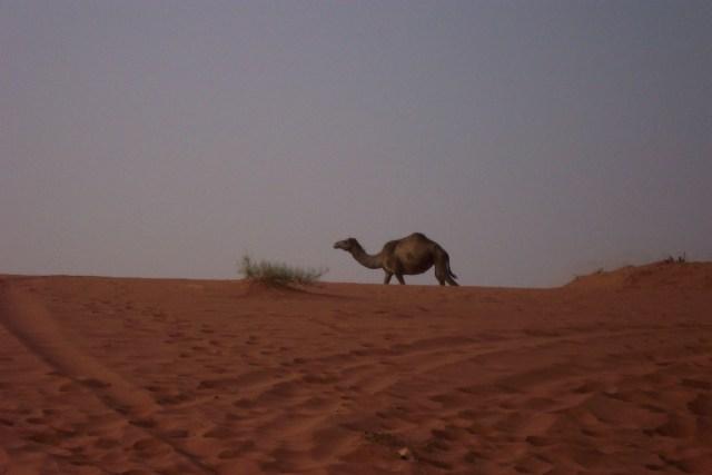 Jordan, Wadi Rum, Camel