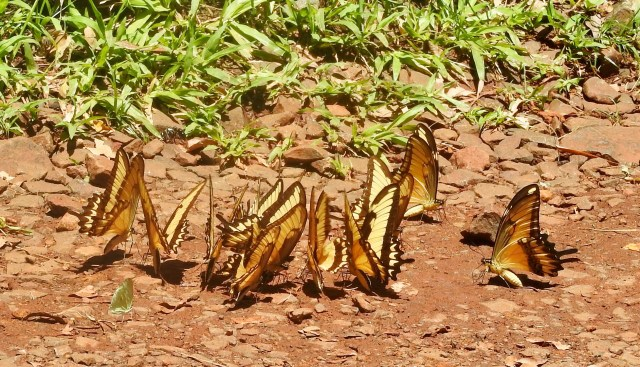 Dancing Large Yellow Butterflies, Iguacu Falls, Argentina