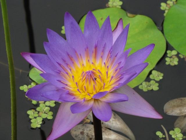 Thai Lily, Bangkok
