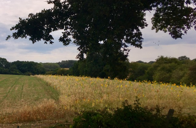 Sunflowers, Kent