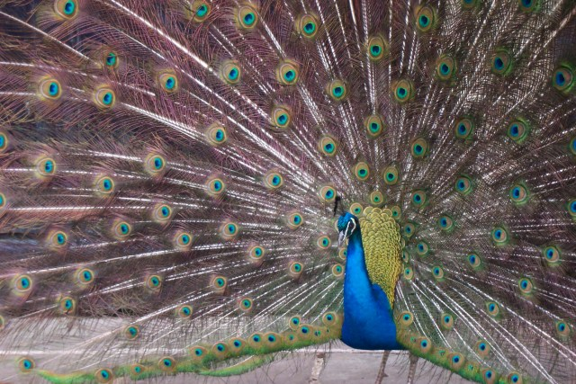 Peacock, Bath, UK