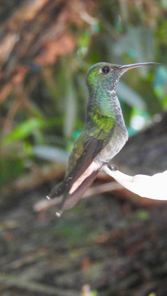 Hummingbird, Iguazu, Argentina