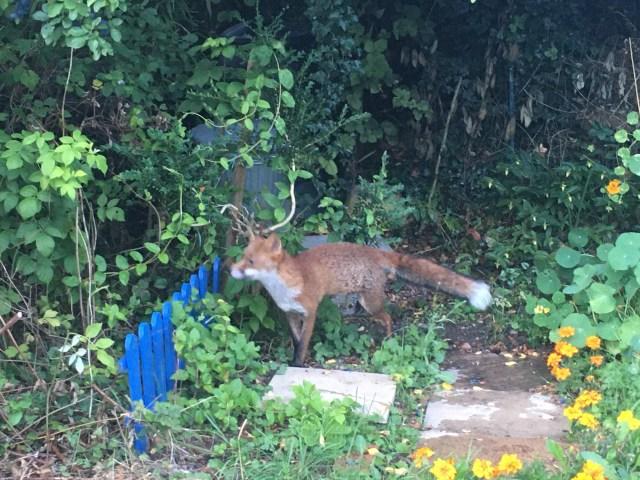 Surrey Fox