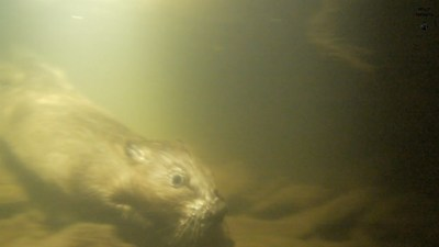 Bever onder water