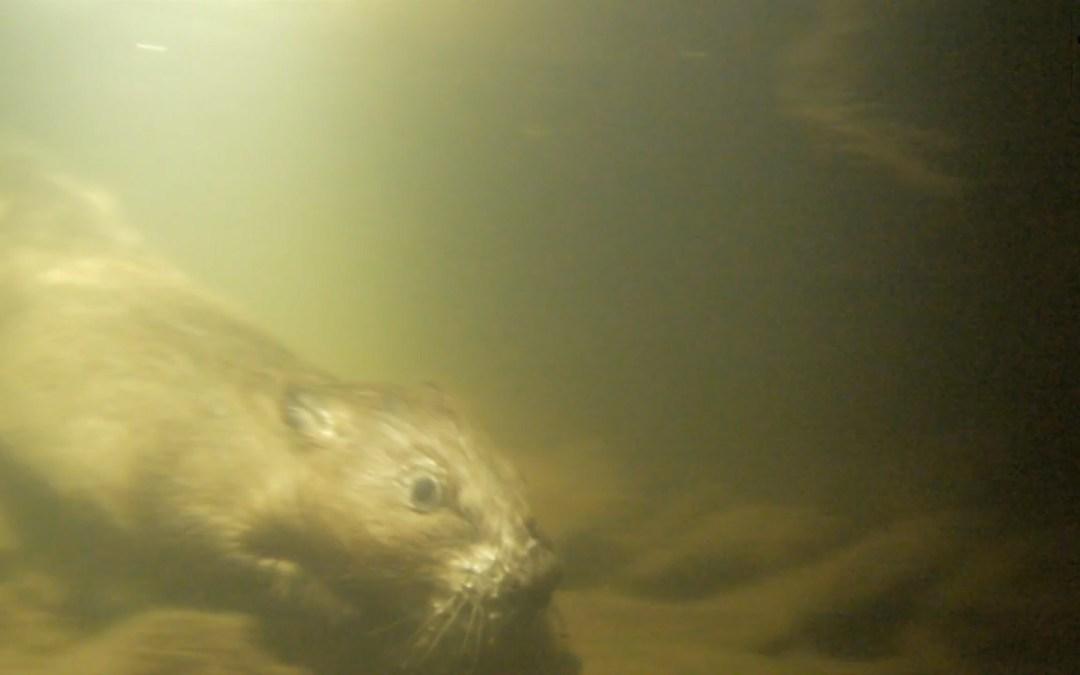 Bevers onder water!