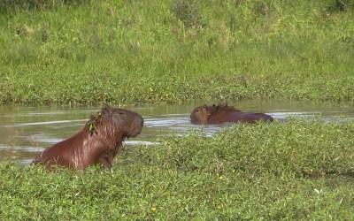Capibara's in Argentinië