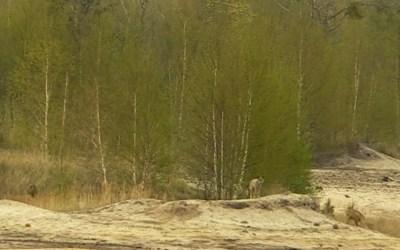 Wolven gefilmd op wolvenstage!