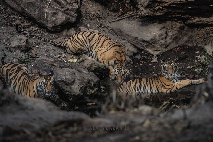 two-tigers-in-a-frame three-tigers-in-a-frame tiger-and-cubs wild-tigers top-tiger-pictures best-tiger-picture award-winning-tiger-picture wild-tiger-picture