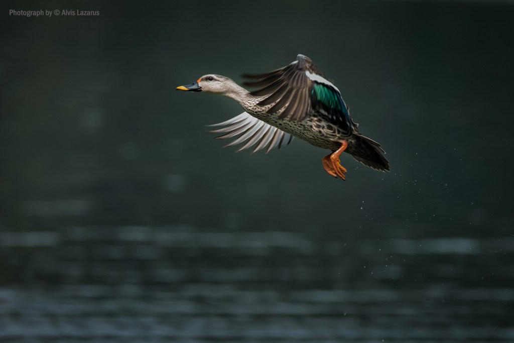sport-billed-duck bif bird-photography-settings