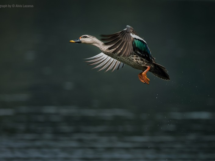 Bird in Flight - How to capture birds in flight (BIF) ?