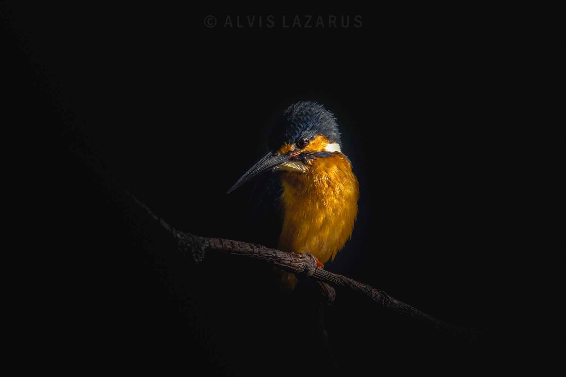 kingfisher portrait perch wildlife-photography exposure-compensation