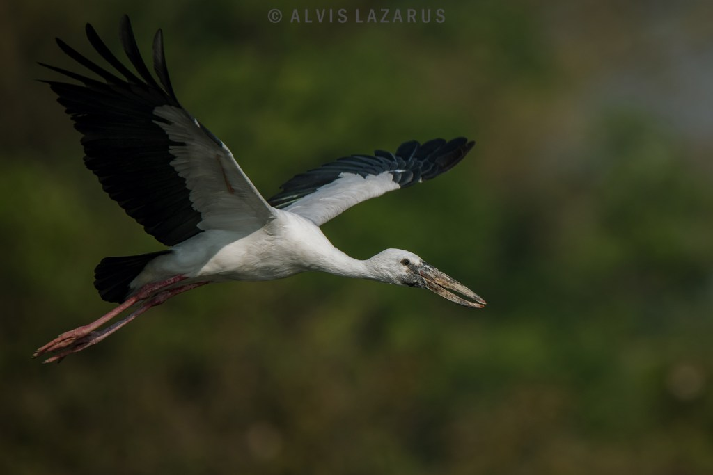 open-billed-stork bird-flight wild-photography