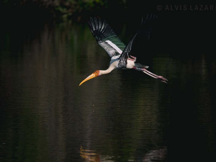 painted-stork bird-in-flight bird negative-exposure-photography exposure-compensation