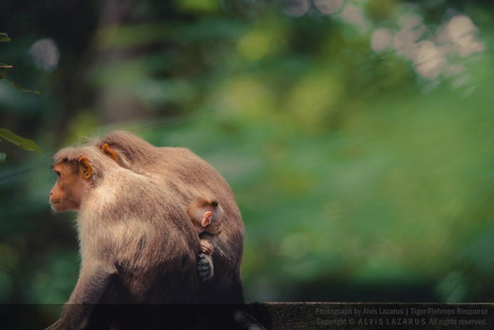bonnet-macaque baby wild-photography