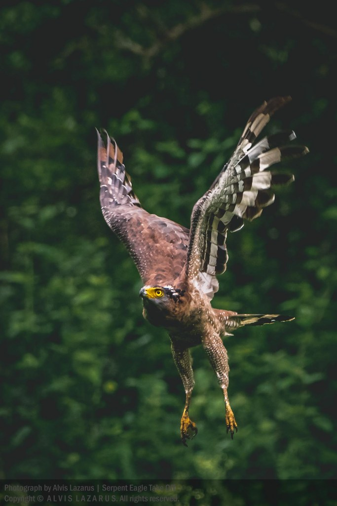 wings serpent-eagle wildlife-photography wild-photography photographer india bangalore