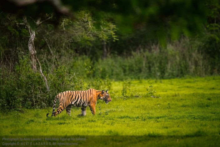 kabini-rainy-seaon tiger habitat greens