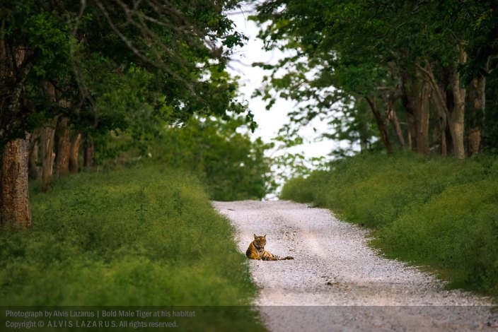 tiger-on-trail tiger-habitat wildlife-photography wild-photography