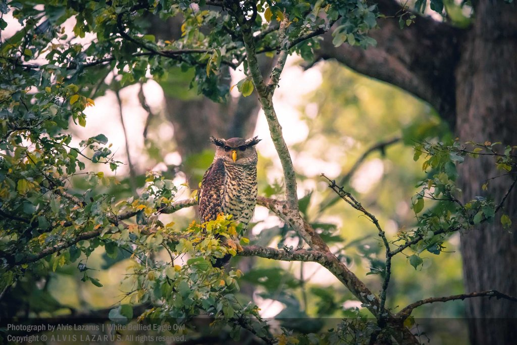 spot-bellied-eagle-owl wildlife photography wild photography workshop