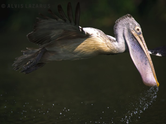 bird-behaviour wildlife-photography spot-billed-pelican