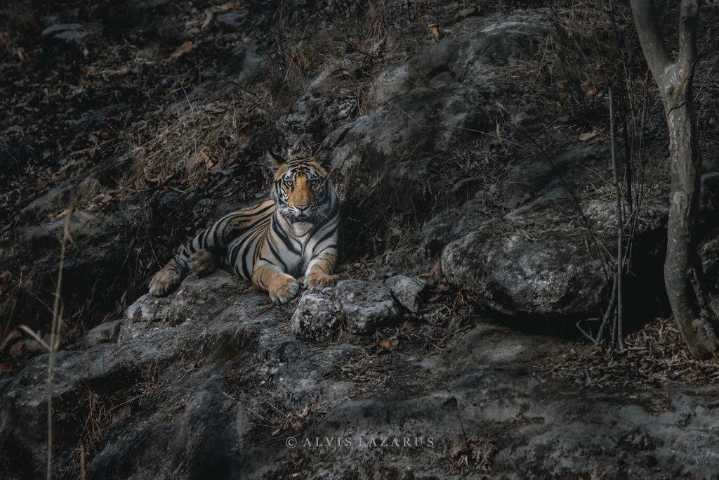 Wild-Tiger Wildlife-Photographer wild-photography bandhavgarh-tigers bandhavgarh-national-park