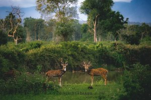 Spotted Deers at Bandipur Wild Habitat
