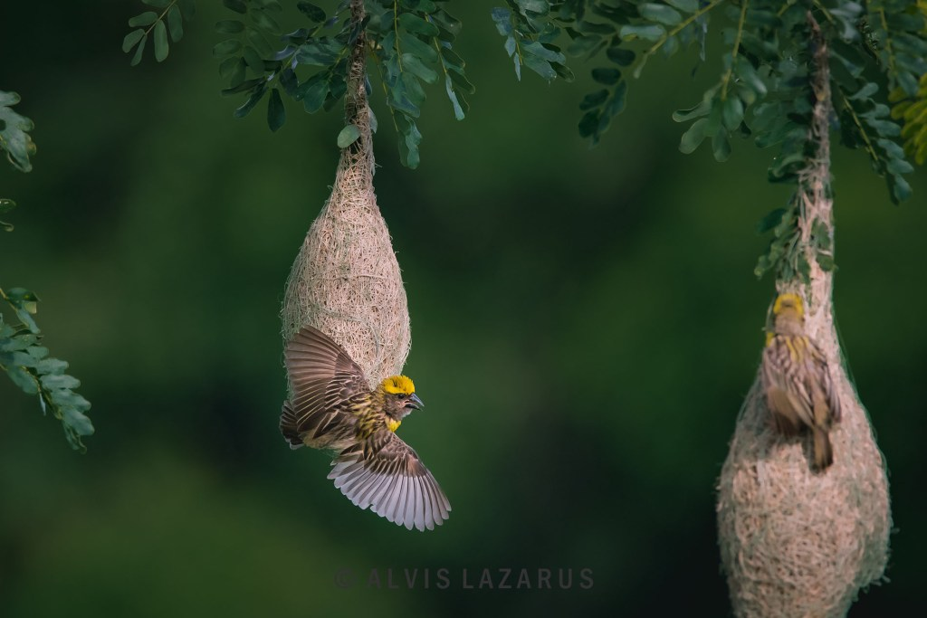 Baya Weaver Bird Portrait habitat face wings