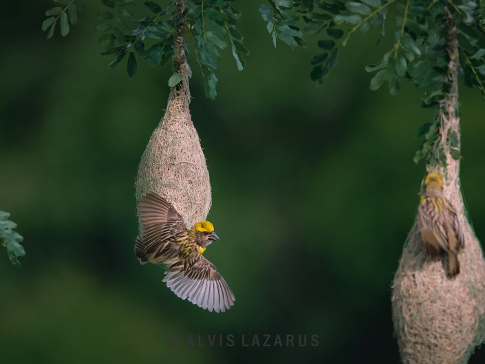 Baya-Weaver Bird-Portrait habitat face wings
