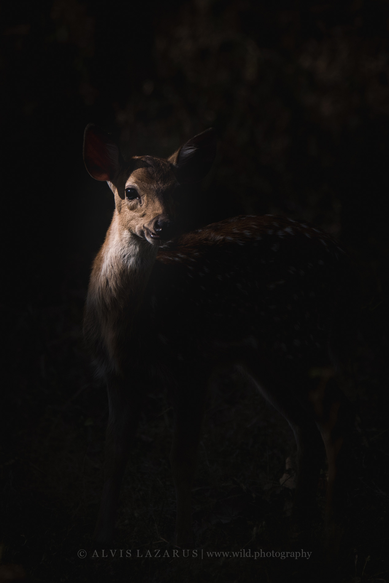 spotted-deer-portrait chital-portrait wildlife-photography wildlife-photographer-india
