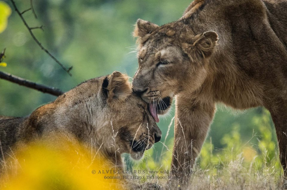 lion-siblings two-lions-kiss wildlife-photography wild-photography sasan-gir-lions lions-love