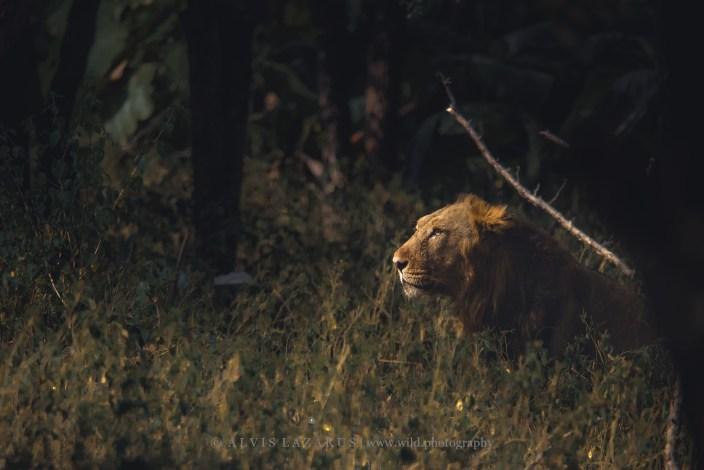 Planning a trip to see Asiatic Lions of Sasan GIR Gujarat