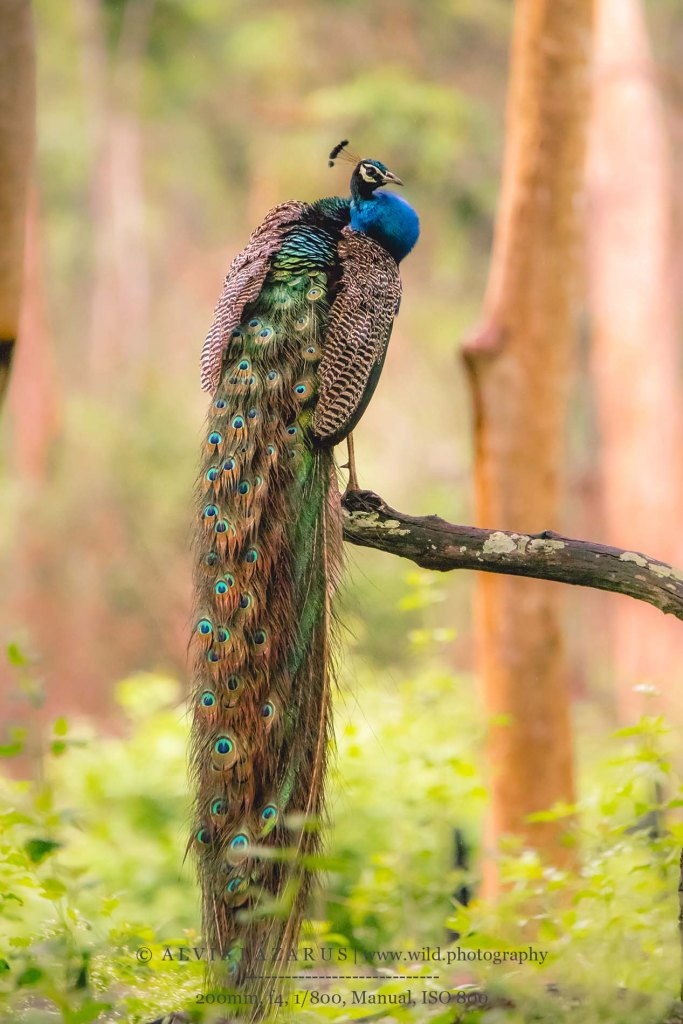 Handsome Peacock on a Beautiful Perch at Kabini-Wildlife-Sanctuary Wildlife-photography wildlife-photographer wild-photography
