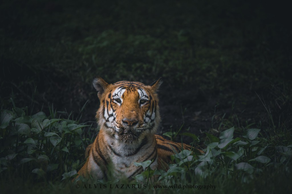 male-wild-tiger tiger-on-waterhole top-wildlife-photographer karnataka-wildlife