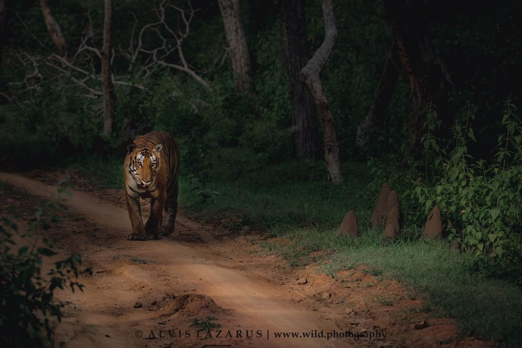 male-wild-tiger tiger-habitat tiger-wildlife-photography