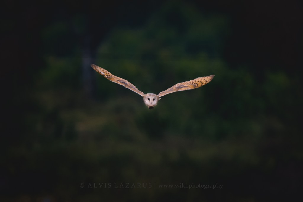 barn-owl-flight wildlife-photography wild-owl birds-bangalore