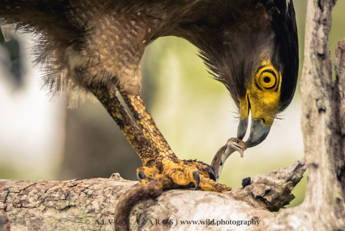 Serpent-Eagle Snake-Kill at Nagarhole-national-park wildlife-photographer