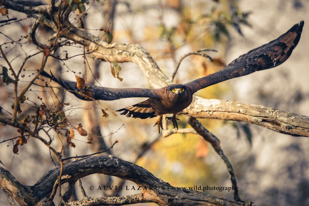 serpent-eagle-take-off eagle-flight indian-eagle wildlife-photography