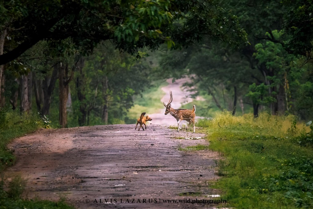 dhole spotter-deer prey-and-predator wild-photography wildlife-photography