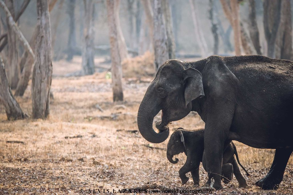 elephant-calf wild-photography wildlife-photographer-india kabini nagarhole-national-park